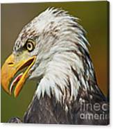 Bald Eagle... Canvas Print
