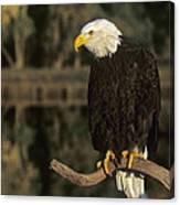 Bald Eagle On Dead Snag Wildlife Rescue Canvas Print