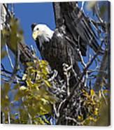 Bald Eagle On Nest Near The Oxbow Canvas Print