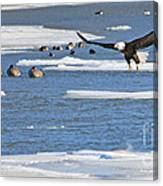 Bald Eagle Over Maumee River 2456 Canvas Print
