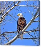 Bald Eagle Perched Canvas Print