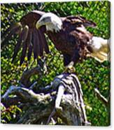 Bald Eagle With A Broken Wing In Salmonier Nature Park-nl Canvas Print