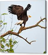Bald Eagle With Fish Canvas Print