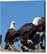 Bald Eagles Quartet Canvas Print