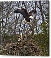 Bald Eagles At Nest Canvas Print