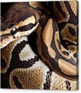 Ball Python Python Regius Canvas Print