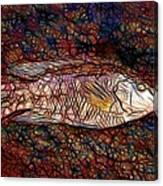 Ballan Wrasse Canvas Print