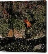 Ballestas Orange Crab 3 Canvas Print