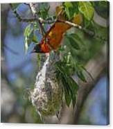 Baltimore Oriole And Nest Canvas Print