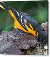 Baltimore Oriole Drinking Canvas Print