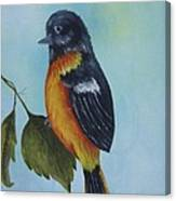 Baltimore Oriole Canvas Print