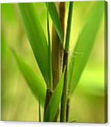 Bamboo Branches Emerge Canvas Print