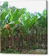 Banana Field Canvas Print