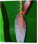Banana Tree Bud Canvas Print