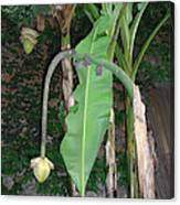 Banana Tree Flower Buds Canvas Print