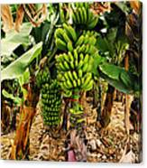Banana Tree Canvas Print