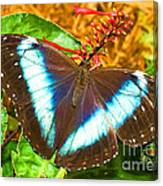 Banded Morpho Butterfly Canvas Print