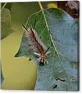 Banded Tussock Moth Caterpillar Canvas Print