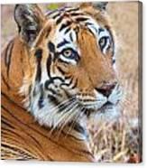 Bandhavgarh Tigeress Canvas Print