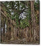 Banyan Tree At Folly Canvas Print