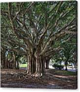 Banyan Tree Reaching For The Sky Canvas Print