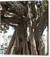 Banyan Trees In Velez Malaga's Parque De Andalucia Canvas Print