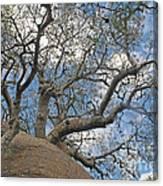 baobab from Madagascar 9 Canvas Print