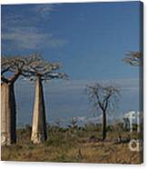 baobab parkway of Madagascar Canvas Print