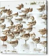 Bar-tailed Godwit 19 Canvas Print