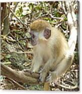 Barbados Green Monkey Canvas Print
