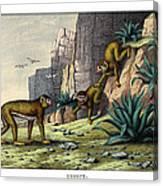 Barbary Ape Canvas Print