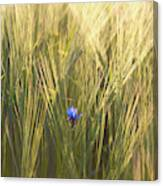 Barley And Corn Flowers In The Field Canvas Print