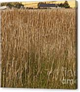 Barley Field Canvas Print