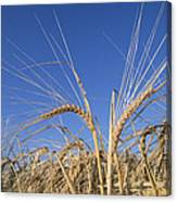 Barley Field Showing Heads Of Grain Canvas Print