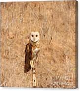 Barn Owl Perching Canvas Print