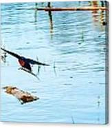 Barn Swallow In Flight Canvas Print