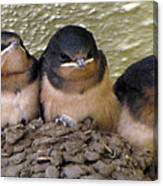 Barn Swallows 1 Canvas Print