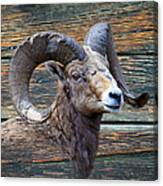 Barn Wood Bighorn Canvas Print