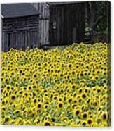 Barns And Sunflowers Canvas Print