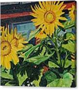 Barnyard Sunflowers Canvas Print
