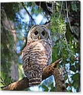 Barred Owl And Holly Canvas Print