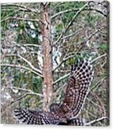 Barred Owl In Flight 2 Canvas Print