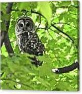 Barred Owl In Hiding Canvas Print