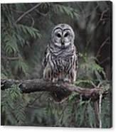 Barred Owl Stare Down Canvas Print