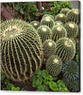 Barrel Cacti Canvas Print