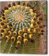Barrel Cactus Bearing Fruit At El Mirador Rv Resort In San Carlos-sonora-mexico Canvas Print