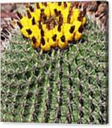 Barrel Cactus With Yellow Fruit Canvas Print