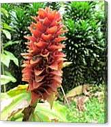 Barriles Ginger Canvas Print