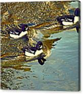 Barrow's Goldeneyes Going For The Gold Canvas Print