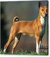 Basenji Dog Canvas Print